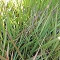 lichtnelke - Purpur - Liebesgras (Eragrostis spectabilis) von Lichtnelke Pflanzenversand bei Du und dein Garten