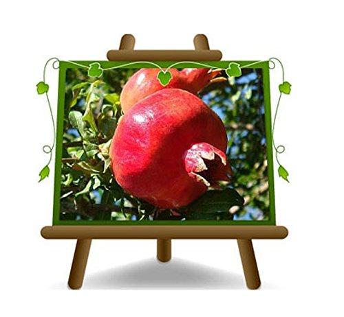 Melograno Acco 128 - Pianta da frutto su vaso da 20 - max 150 cm - 2 anni