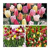 Humphreys Garden Triumph Tulip Tulipán Mixed x 50 Bulbs Bulbos de Flores