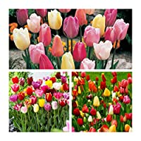 Ampoules de qualité pour faire un affichage étonnant au printemps. Plantez l'automne pour un spectacle délicieux de fleurs printanières.