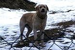 Labradormischling 'Ecki' / Dobermann-Sennenhund-Mischling 'Tyson' hier kaufen