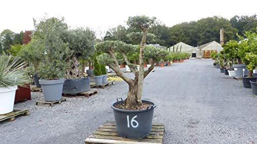 genau dieser Pon Pon 16: uriger, alter Olivenbaum als Formgehölz, knorrige Olive winterhart