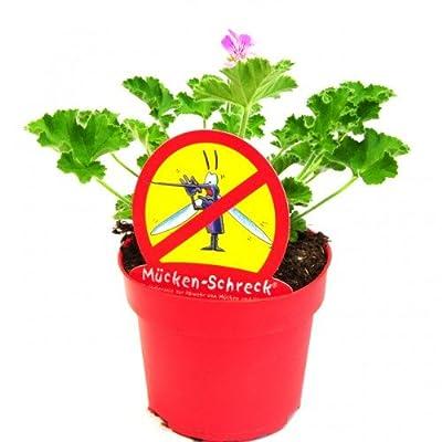 Duft-Geranie Mückenschreck 12 cm Topf von LG-Direkt bei Du und dein Garten