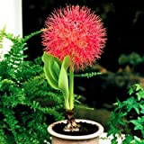 #2: HAEMANTHUS LILY (FOOTBALL LILY) PACK OF 3 BULBS