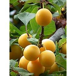 """Mirabellen Baum Obstbaum Prunus demestica subsp. Syriaca """"Mirabelle von Nancy"""" ca. 150cm im Topf gewachsen"""