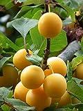 Mirabellen Baum Obstbaum Prunus demestica subsp. Syriaca
