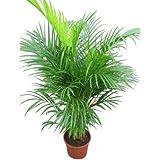 Planta de interior - Planta para la casa o la oficina - Chrysalidocarpus lutescens Palmera Areca - Palmera mariposa - 1 metro