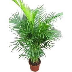 Zimmerpflanze - für Wohnraum oder Büro - Chrysalidocarpus lutescens - Arecapalme - Höhe 1,10m