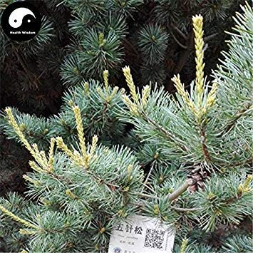 Kaufen echten Mädchen-Kiefer-Baum-Samen 240pcs Pflanze Chinesische Kiefer Pinus Parviflora wachsen Wu Zhen Song-Pinaster