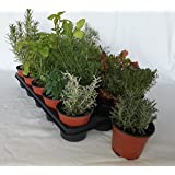 Sin marca Bandeja de Planta aromática variada (Maceta de 10,5 cm) (15 Unidades) - Planta Viva - Planta aromatica