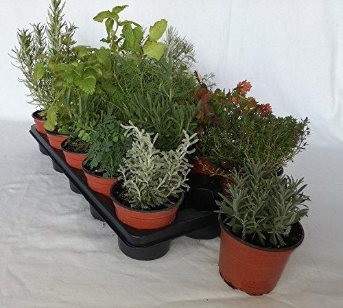 Bandeja de planta aromática variada maceta de 10