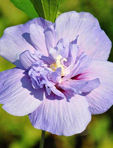 Palmenmann Echter Roseneibisch (Hibiscus) Blue Chiffon - Hibiscus syriacus Blue Chiffon® (Hibiscus Chiffon Blue)