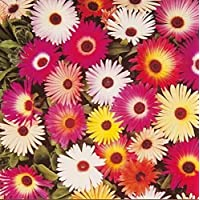 ScoutSeed Suttons Seeds Livingstone Daisy Sparkles Mix