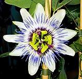 Passionsblume Maracuja Passiflora edulis essbare Früchte 5 Samen