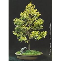 Tropica - Bonsai - Amerikanische Goldzypresse (Cupressua macrocarpa)-50 Samen