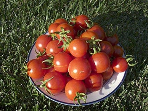 PLAT FIRM GERMINATIONSAMEN: 50 - Samen: Fox Tomato Seeds - Eine der am besten schmeckenden großen Kirschen. !!