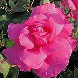 André Eve - Rosier Sylvie Vartan Evesylva - Pot 5 Litres - Couleur : Rose