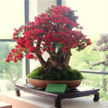 graines-new-arrivee-5-graines-azalee-seeds-vivace-fleur-pour-jardin-en-bonsai