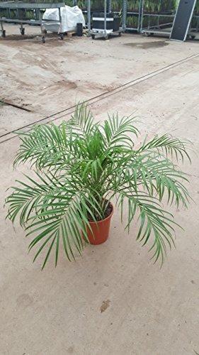 Blumen-Senf Phoenix Roebelenii 80 cm +/-/Zwergdattelpalme/Dattelpalme/Palme/Zimmerpalme