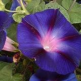 Ipomoea tricolor - 1 unidad - 2,5Litros - Azul