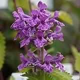 Blumixx Stauden Stachys grandiflora 'Superba' - Purpur-Ziest, im 0,5 Liter Topf, purpurrosa blühend