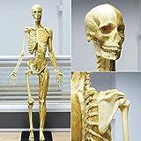SHUAI 23,6 Pollici / 60 Cm Anatomia Maschile Figura Anatomia del Muscolo Scheletrico Umano Modello Pittura Scultura Dell'artista Riferimento Anatomico Sussidio Didattico