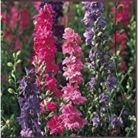 ScoutSeed Suttons Seeds Larkspur Stock Flowered Mix