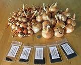 Germination Les graines: 50 graines: Oignon Pommes de Terre de Green Mountain Graines et bulbes ~ oignons patates Bio