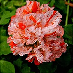 Inovey 100 PCs Garten Geranie Samen seltene Blumen Samen Pflanzen Pflanze - 1