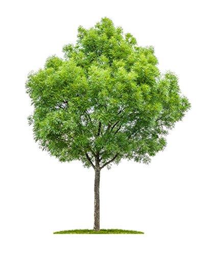 Schmalblättrige Esche Fraxinus angustifolia 40 Samen