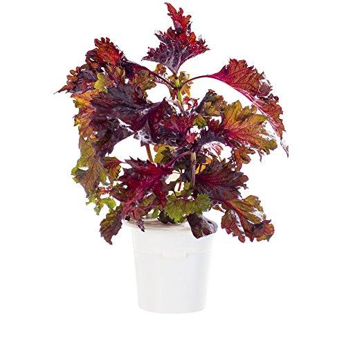 Click & Grow Shgr39 X 3 Perilla recharge pour Smart Herb Garden – Blanc (lot de 3)