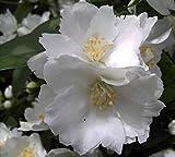Gartenjasmin Dame Blanche - Europäischer Pfeifenstrauch - Bauernjasmin - Falscher Jasmin - Philadelphus Dame Blanche - stark duftend (40-60)