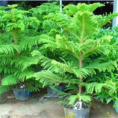 50-particulas-de-una-bolsa-de-semillas-de-araucaria-los-mini-bonsai-arbol-spruce-semillas-semillas-r
