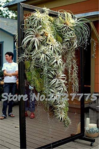 Galleria fotografica VISTARIC Come visualizzato nell'immagine: 2016 Cinese peonia Albero Seeds 5 Seeds PC Domestici Peony Fiore raro Flores Piante perenni Fiori Bulbi Semi Bonsai da Interno vegetali