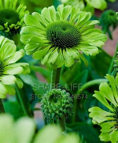 30 Samen Grüne Jewel Echinacea Blumensamen Sonnenhut Bonsai Samen DIY # 32630169025ST