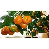 Raj Garden Plants Chinese Orange Live Plant, Calamondin Orange