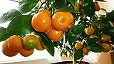 #6: Raj Garden Plants Chinese Orange Live Plant, Calamondin Orange