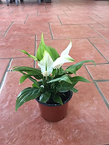 Spathiphyllum, 9cm Peace Lily - Indoor Air Cleaner Plant - In Flower (1)