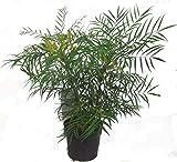 Mahonia eurybracteata 'Soft Caress' ®, Stachellose Mahonie winterharter, immergrüner, blühender Strauch-ideale Kübelpflanze 19 cm Topf-Höhe 50 cm