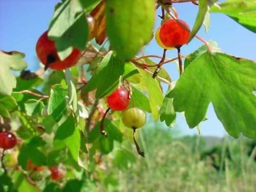 Ribes aureum Goldene Currant 10 Samen