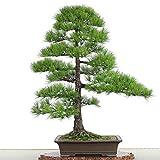 Negro pino semillas de árboles bonsai en maceta Plantas Semillas de estar Balcón japonesa Pino 20 semillas / pack