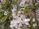 Japanische Säulenkirsche 'Amanogawa' - Prunus serrulata Amanogawa - Containerware 100-150 cm - Garten von Ehren®