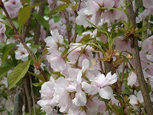 Japanische Säulenkirsche 'Amanogawa' – Prunus serrulata Amanogawa – Containerware 100-150 cm – Garten von Ehren®