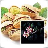 Portal Cool Semillas Bonsai Pistachos 5Pcs árbol de Pistacia comestibles Frutos Plantas de jardín Raras