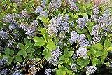 Blaue Säckelblume 'Gloire de Versailles' - Kräftige Sträucher im 5lt Container