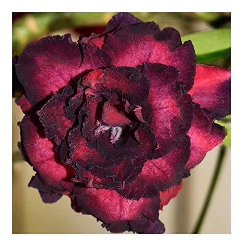 Adenium obesum Black Bird - Rose du désert - Faux baobab - 3 graines