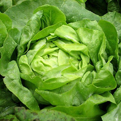 Laitue (également conocido como laitue de la beurre) plus de 100 semences certifiée organique no GMO vegetable Seeds.