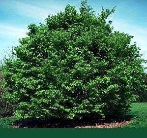 25 x Rotbuche (Fagus sylvatica) 80 – 120 cm, Baum des Jahres 1990