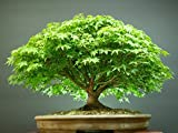 #10: Beautiful Imported Japanese Maple Bonsai Tree Seeds Sold By - VasuWorld