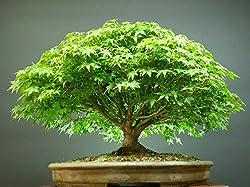 Beautiful Imported Japanese Maple Bonsai Tree Seeds Sold By - VasuWorld